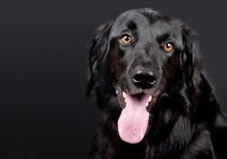 Kingsmoor hundefoder - det ideelle basisfoder til din hund